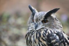 черный вектор сыча чернил иллюстрации орла чертежа Стоковая Фотография