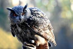 черный вектор сыча чернил иллюстрации орла чертежа Стоковые Изображения