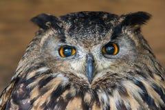 черный вектор сыча чернил иллюстрации орла чертежа Стоковое фото RF
