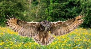 черный вектор сыча чернил иллюстрации орла чертежа Стоковое Изображение