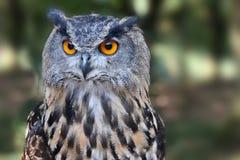 черный вектор сыча чернил иллюстрации орла чертежа Стоковая Фотография RF