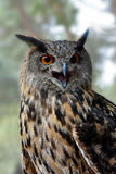 черный вектор сыча чернил иллюстрации орла чертежа Стоковые Изображения RF