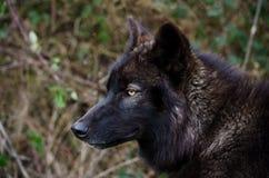 Черный взгляд волка стоковая фотография