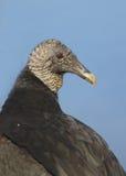 Черный возглавленный хищник Стоковое фото RF
