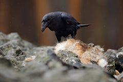 Черный ворон птицы при мертвая красная лиса, сидя на камне Сцена поведения живой природы от природы Ворон подавая меховая шыба кр Стоковые Изображения RF