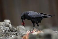 Черный ворон птицы с мертвой красной лисой, кровопролитным сердцем в клюве, сидя на камне Стоковое Изображение RF