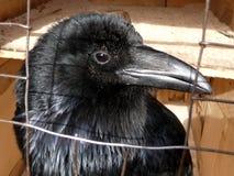 черный ворон Стоковое Изображение RF