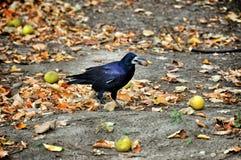 черный ворон Стоковая Фотография RF