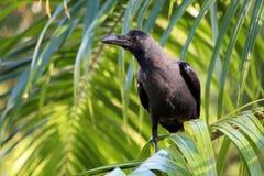 черный ворон Стоковые Изображения