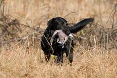 черный восстановленный вихрун labrador стоковое фото rf