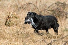 черный восстановлять вихруна labrador стоковые изображения rf