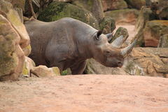 черный восточный носорог Стоковое фото RF