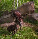 Черный волк (волчанка волка) и взгляд щенка интенсивный Стоковое Изображение RF
