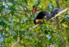 Черный гигант Sguirrel стоковая фотография