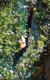 Черный гигант Sguirrel стоковые изображения rf