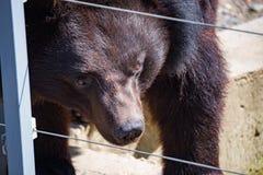 Черный гималайский день крупного плана медведя Стоковое фото RF