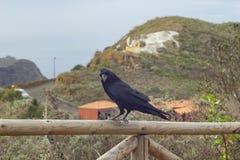 Черный грачонок сидит на загородке Стоковое фото RF