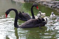 Черный лебедь и маленький лебедь Стоковые Изображения RF