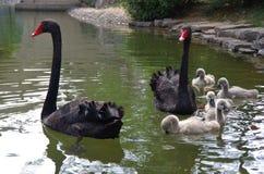 Черный лебедь и маленький лебедь Стоковое фото RF