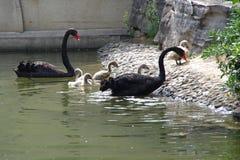 Черный лебедь и маленький лебедь Стоковая Фотография RF