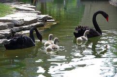Черный лебедь и маленький лебедь Стоковые Изображения