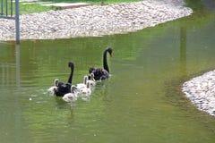 Черный лебедь и маленький лебедь Стоковое Изображение
