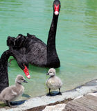 Черный лебедь и молодой лебедь Стоковое фото RF