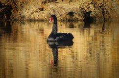 Черный лебедь на золоте стоковые фотографии rf
