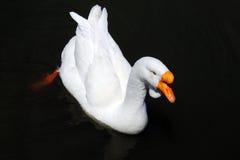 Черный лебедь на пруде Стоковое Изображение RF