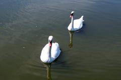 Черный лебедь на пруде Стоковые Фото