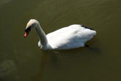 Черный лебедь на пруде Стоковое фото RF
