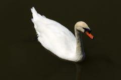 Черный лебедь на пруде Стоковые Изображения RF