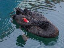 Черный лебедь очищает оперение Стоковые Фотографии RF