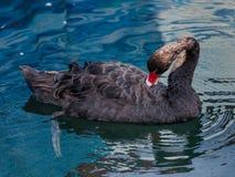 Черный лебедь очищает для того чтобы иметь оперение Стоковое Изображение