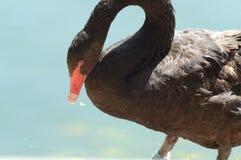Черный лебедь сидя около воды стоковое изображение rf