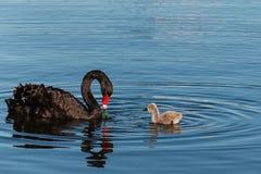 Черный лебедь с Cygnet Стоковые Изображения