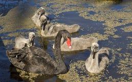 Черный лебедь с signets, Виктория, Австралия стоковое изображение