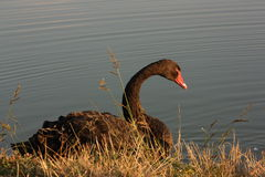 Черный лебедь Стоковая Фотография