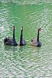 черный лебедь 3 Стоковые Изображения RF