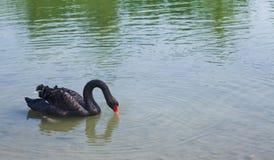 Черный лебедь Стоковое Фото