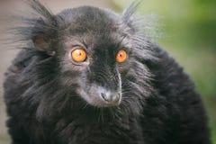 Черный лемур Мадагаскара (macaco Eulemur) Стоковая Фотография RF