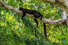 Черный лемур спать на ветви Стоковое фото RF