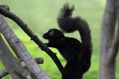 Черный лемур Стоковое Фото
