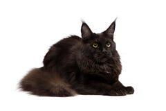 черный енот Мейн Стоковое Фото