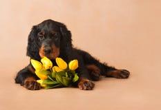 черный желтый цвет тюльпанов щенка Стоковое фото RF