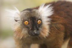 черный женский lemur Стоковое Изображение