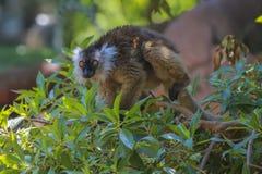 черный женский lemur Стоковые Изображения RF