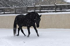 Черный жеребец в снеге стоковое фото rf