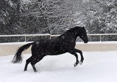 Черный жеребец в снеге стоковая фотография rf