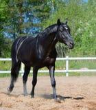 Черный жеребец русской породы катания Стоковое фото RF